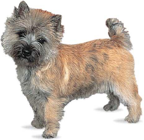 cairn-terrier-skugs-317b765