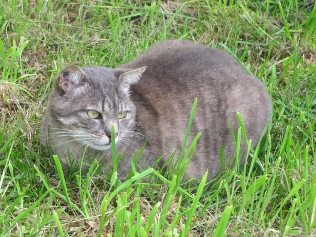Spider chat tigré gris mâle FIV+ de 08/2005 - dpt 56 Img_1494-2eb37b0
