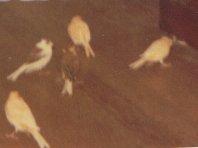 Mon chien Voyou, mes bébés à plumes et compagnie E-et-cie-zouzou--...nette-01-2b5fd94