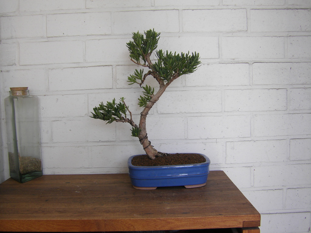 Idea for podocarpus Sth71742-292f175